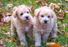 Schnoodles - Hypoallergenic Dogs