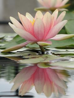 Lotus and Reflection by steck76