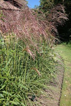 Miscanthus sinensis 'Morning Light'-chinees riet/ siergras, bloei 8-10, 1.50-1.80 hoog, witbont blad, zonnig plekje gewenst.