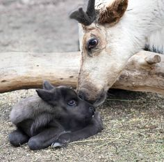 Bunny the Reindeer nuzzles her newborn fawn at Brookfield Zoo. Reindeer fawns have dark fur to better absorb warmth from the sun - essential in the chilly northern regions where they live. See photos and video on ZooBorns.com