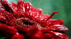 Samuel David Lehrer-Beautiful Red Flower