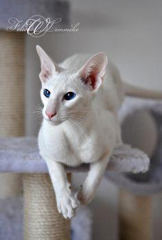 Siamese Cats Socker the sugarcat by felill Pretty Cats, Beautiful Cats, Cute Cats, Siamese Kittens, Cats And Kittens, Oriental Shorthair Cats, Animal Gato, Cat Anatomy, Oriental Cat
