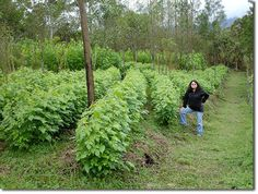 Perennial Staple Crops of the World Permaculture Courses, Information, Forums, News
