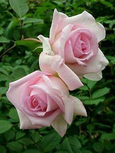 Rose Gardening For Beginners N. Beautiful Rose Flowers, My Flower, Flower Power, Beautiful Flowers, Purple Roses, Pink Flowers, Rosa Rose, Rose Cottage, Color Rosa