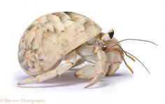 images of hermit crabs | WP19292 Land hermit crab ( Coenolita species), southern Madagascar.