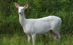 Albino deer have been in Wisconsin as long as white-tailed deer have been in the state. Native Americans speak about white deer in their ancient lore. Many generations of Boulder Junction residents… Albino Deer, Rare Albino Animals, Animal Pictures, Cute Pictures, Deer Art, Animal 2, Woodland Creatures, Native Plants, Guinea Pigs
