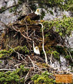 Beautiful Bald Eagles Protecting Their Nest - Alaska