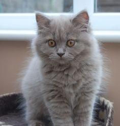 British Longhair kittens #cats #adorable #kittens