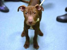 PULLED BY BEST FRIENDS ANIMAL SOCIETY - Brooklyn Center DALLAS - A1026172 MALE, BROWN / WHITE, PIT BULL MIX, 4 mos STRAY
