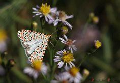 Moth, Dandelion, Butterflies, Flowers, Plants, Animals, Animales, Animaux, Dandelions