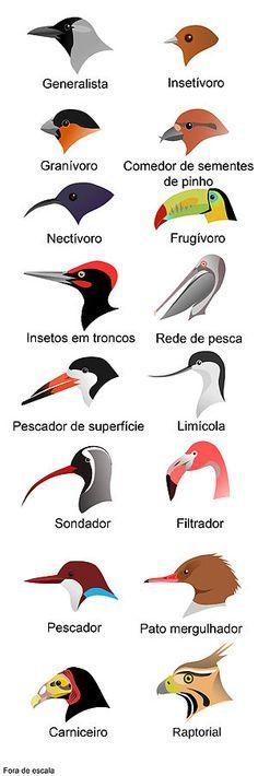 Os bicos é a região das maxilas das aves que é recoberta por um invólucro córneo de conformação extremamente variada, exprimindo a especialização alimentar das espécies envolvidas. Faz parte da anatomia externa das aves. – Wikipédia, a enciclopédia livre