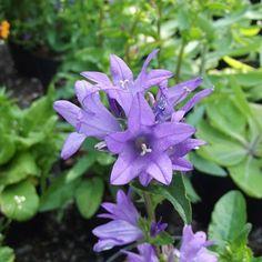 Campanula Freya will like it slightly shaded