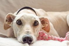 Is Your Dear Old Dog Shaking? 11 Reasons Why Senior Dogs Shiver - Dr. Buzby's ToeGrips for Dogs Dog Ear Wash, Dog Shaking, Popular Dog Breeds, Old Dogs, Dog Training Tips, Training Classes, Whippet, Dog Owners, Myasthenia Gravis