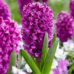 """Did you know...Today's garden hyacinths look very different from the wild species. After centuries of breeding, they have taller flower spikes and much larger, mostly double florets that are tightly packed along the stem. Each hyacinth bulb produces a single 8 to 12"""" tall flower stalk and 4 to 6 strappy leaves. The blossoms open in mid-spring, at the same time as daffodils and early tulips. Summer Bulbs, Spring Flowering Bulbs, Spring Bulbs, Spring Blooms, Spring Flowers, Part Shade Flowers, Tall Flowers, Types Of Flowers, Hyacinth Flowers"""