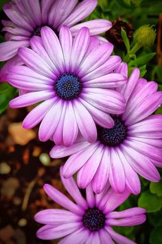 African Daisies. would make a nice tattoo. I could put my kids names on the petals, it's such a pretty flower