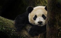 تحميل خلفيات الباندا, الدب, الحياة البرية, الحيوانات لطيف, الغابات, اليابان