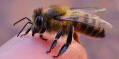 Ontario has become the first province or state in North America to severely restrict a class of pesticides linked to collapses in bee populations.  The province said on Tuesday it plans to reduce the use of neonicotinoid pesticides on corn and soyb...