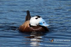 White-headed Duck by Rob Williams