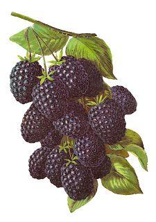 printable blackberry illustration artwork