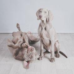weimaraner, weimaraners, dog, grey ghost, Seb, Sil, www.sisudesigns.nl, puppy, boys, sisu, photography