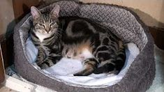 See Sparta the cat give birth and tend to her new born kittens, it's over th. - Cats ~ Information About Cats - Pregnant Women Newborn Kittens, Baby Kittens, Little Kittens, Cats And Kittens, Siamese Kittens, Fluffy Kittens, I Love Cats, Cute Cats, Funny Cats