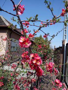 Japánbirs: tavasszal díszcserje, ősszel vitaminbomba | Balkonada Christmas Wreaths, Holiday Decor, Gardening, Garden, Plants, Flowers, Lawn And Garden, Horticulture
