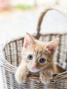 Baby Cats, Baby Animals, Cute Animals, Cute Kittens, Cats And Kittens, Orange Tabby Cats, Photo Chat, Ginger Cats, Crazy Cat Lady