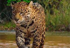 Resultado de imagen para COLOMBIA SALVAJE Jaguar, Panther, Animals, Google, Crocodiles, Animals Beautiful, Colombia, Animales, Animaux