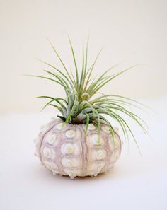 Air plant and a sea urchin
