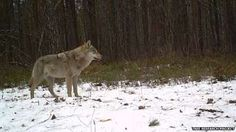 Hidden lifes of Chernobyl's wildlife.