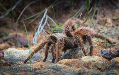 10 Amazing Animal Facts You Probably Didn't Know..... A tarantula can live for over 2 years without eating a single thing.
