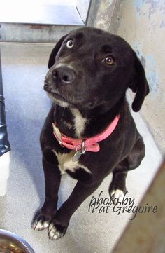 SAFE --- A4796878 My name is Annamaria. I am a very sweet and friendly 5 month old spayed female black/white Labrador Retriever mix. My owner left me here on Feb 9. available now Baldwin Park shelter https://www.facebook.com/photo.php?fbid=923655750979596&set=pb.100000055391837.-2207520000.1424128920.&type=3&theater