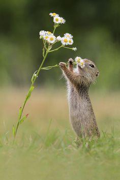 European Ground Squirrel by Julian Rad