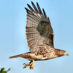 red tailed hawk...my favorite totem.. see them absolutely everywhere.. messengers of the Divine.