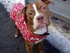 SAFE - -03/10/15 by SNARR - Northeast. --- Manhattan Center   CAELUM - A1028585  *** AVERAGE HOME ***  MALE, BROWN / WHITE, AMER BULLDOG MIX, 2 yrs STRAY - STRAY WAIT, NO HOLD Reason STRAY  Intake condition UNSPECIFIE Intake Date 02/23/2015 https://www.facebook.com/photo.php?fbid=969493826396830