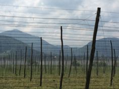Another beautiful hop yard in Slovenia.  Picture taken in 2014 during a trip by 47Hops to the region.