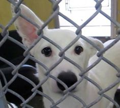 SAFE --- PLEDGES NEEDED FOR RESCUE! SMURF WAS AN OWNER SURRENDER ON NOV. 4TH. DUE TO LANDLORD. HE WEIGHS 28 LBS.  My name is Smurf and I'm an approximately 1 year old male terrier. I am already neutered. I have been at the Downey Animal Care Center since November 4, 2014. I am available on November 4, 2014. You can visit me at my temporary home at D413 https://www.facebook.com/photo.php?fbid=762864927127175&set=a.621812584565744&type=3&theater