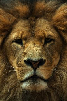 Looks like Aslan from Chronicles of Narnia