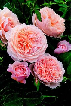 English roses...I had these, but they do not do well in high humidity!!