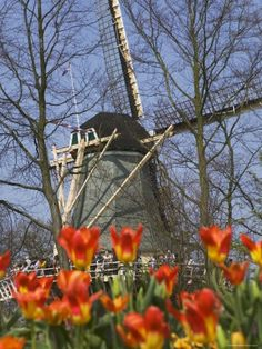 size: Photographic Print: Windmill with Tulips in Keukenhof Gardens, Amsterdam, Netherlands by Keren Su : Travel Places In Europe, Places Around The World, Places To Visit, Around The Worlds, Amsterdam City, Amsterdam Netherlands, Amsterdam Tulips, Amsterdam Travel, Beautiful Buildings