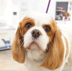 Holly - Cavalier King Charles