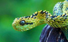 13. The Bush Viper (la vipère des buissons) 21-animaux-inhabituels-dont-vous-nauriez-jamais-soupconne-lexistence25