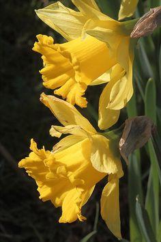 Yellow Daffodils flowers