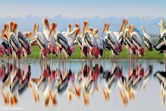 Painted storks - zoltán kovács - Google+