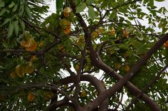 Star Fruit Tree Coral Gables