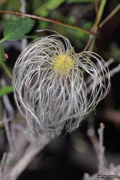 Flora Bonaerense: Nativas Barba de viejo (Clematis campestris)