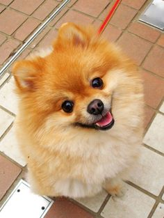 happy #pomeranian #DogCutest