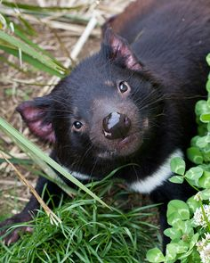 ahhh, cute little guy!  Endangered Tasmanian devils, which could become extinct like Tasmanian tigers.