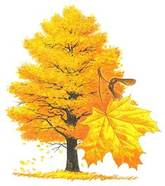 Maple sugar is a traditional sweetener in the northeastern United States and Canada, prepared from the sap of the . New England States, Heart Tree, Vase Shapes, Maple Tree, Green Mountain, Kids Corner, Live In The Now, Vermont, Wisconsin