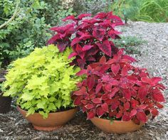 The simplicity of coleus maintenance is another reason to include them in your gardening palette.